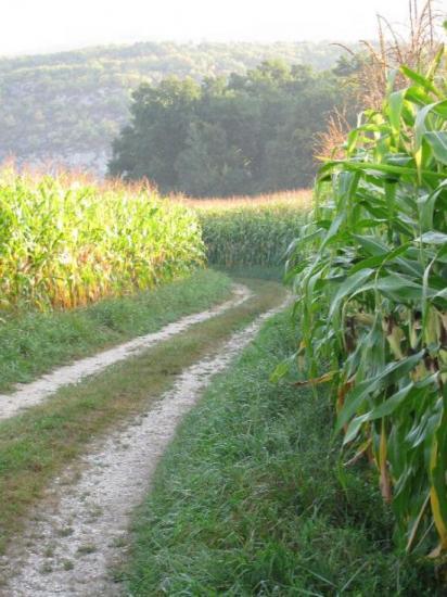 du maïs, toujours du maïs, encore du maïs